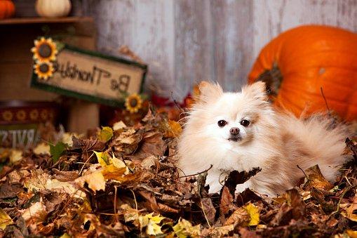 pomerania razas de perros pequeños precios