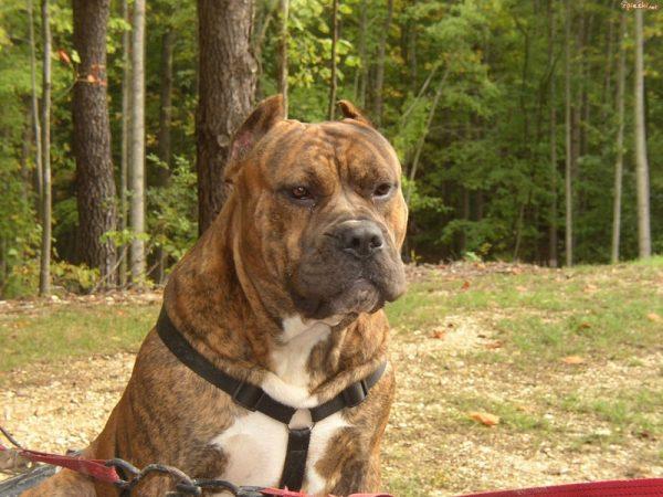 presa canario razas de perros peligrosos