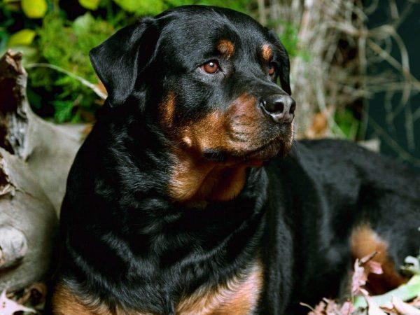 rottweiler razas de perros peligrosos