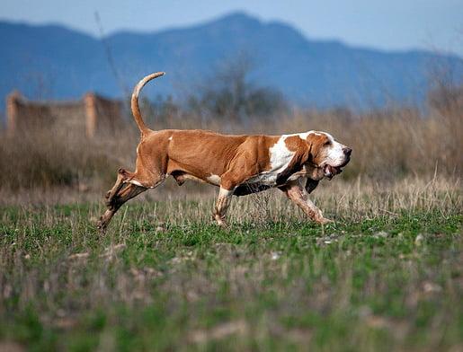 sabueso espanol razas de perros de caza
