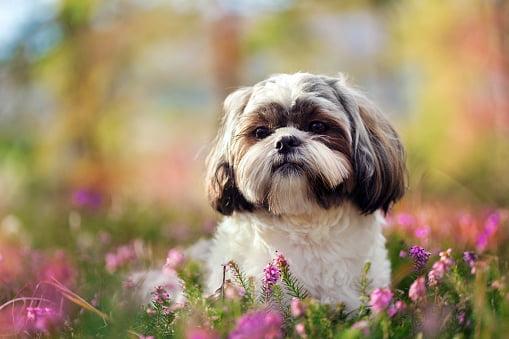 shih tzu razas de perros pequeños y tranquilos