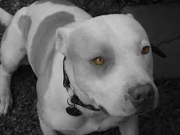 spike razas de perros pitbull