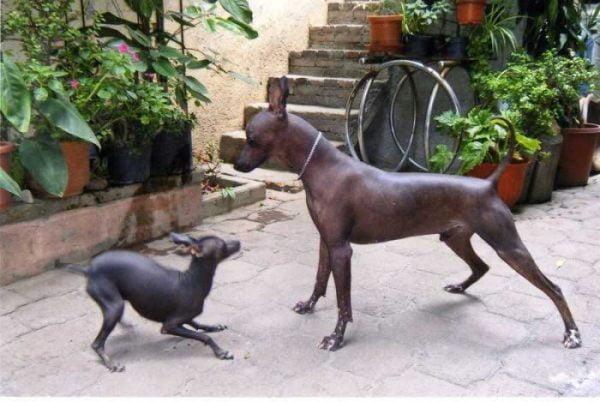 xoloitzcuintle perro sin pelo mexicano razas de perros pequeños de pelo corto