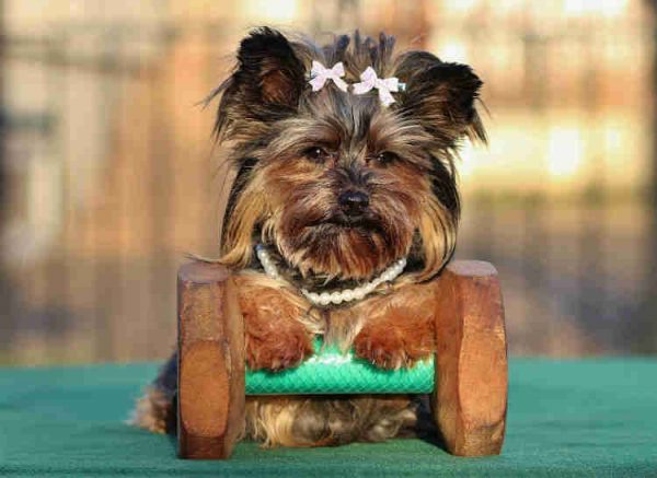 yorkshire terrier razas de perros pequeños que no crecen
