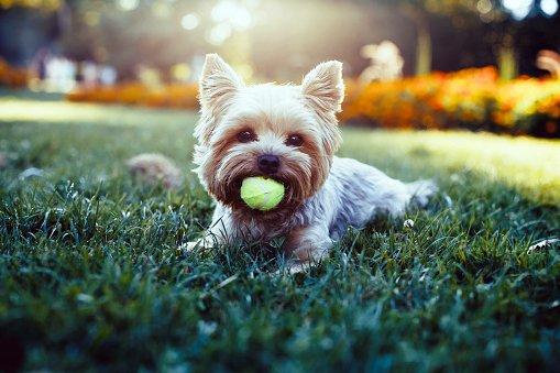 yorkshire terrier razas de perros pequenos y tranquilos