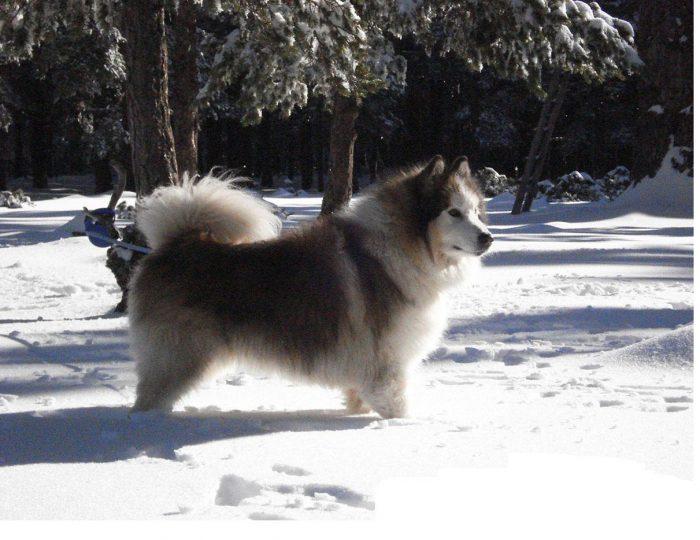 alaskan malamute de paseo en la nieve