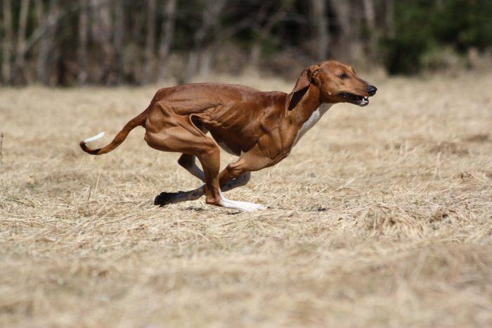 azawakh corriendo