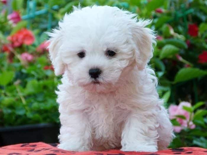 bichon bolones razas de perros pequeños blancos
