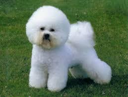 razas de perros pequeños bichon frise