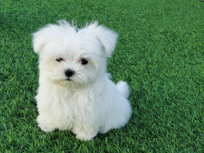 bichón maltés razas de perros pequeños blancos