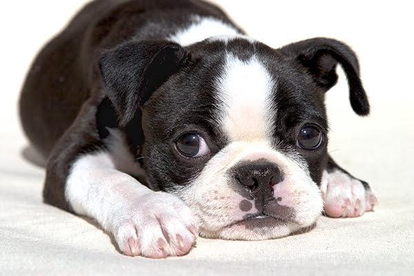 boston terrier razas de perros pequeños negros