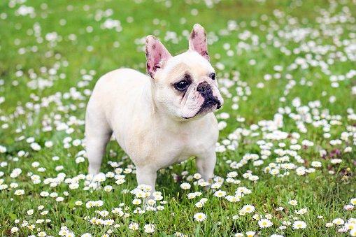 bulldog frances sobre césped con flores blancas