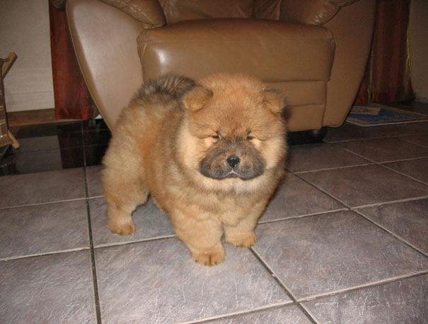 cachorro Chow Chow uno de los perros medianos peludos mas antiguos del mundo