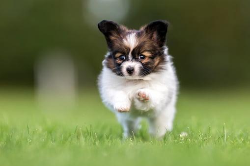 cachorro papillon corriendo