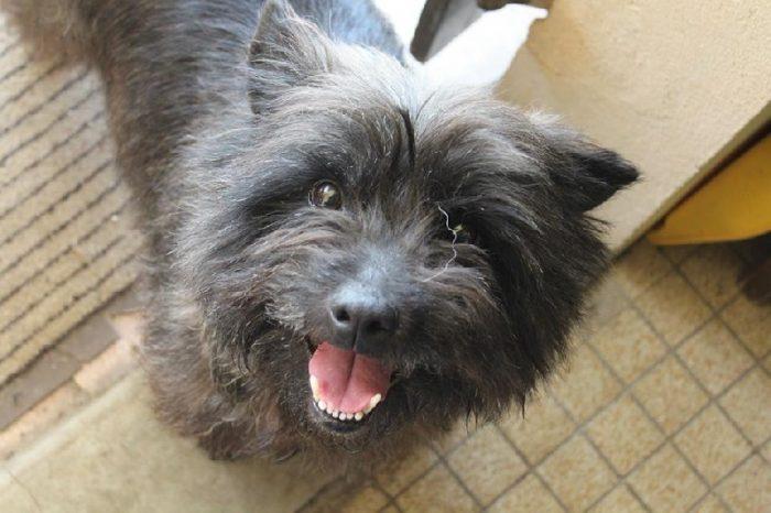 cairn terrier razas de perros pequeños negros