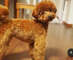 razas de perros pequeños caniche toy poodle toy
