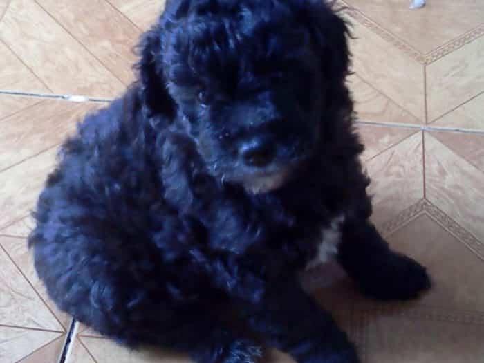 caniche toy razas de perros pequeños negros