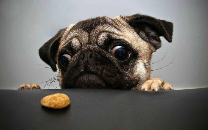 carlino o pug mirando una galleta