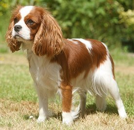 Someone alphabetic Adult cavalier king charles spaniels for sale and have