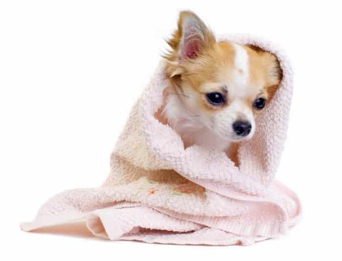 chihuahua envuelto en una toalla