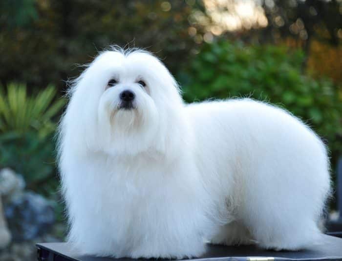 coton de tulear razas de perros pequeños blancos