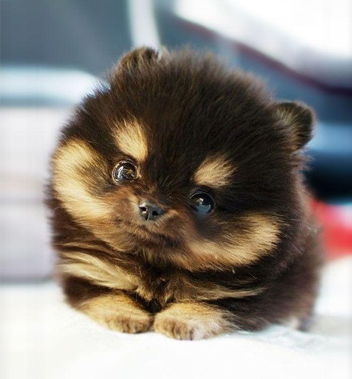 el cachorro pomerania mas adorable del mundo después de Boo