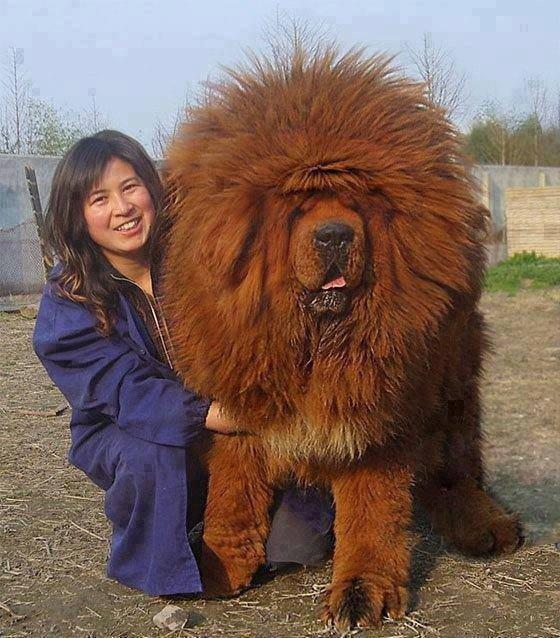 el majestuoso dogo del tibet en 2011 se vendio un ejemplar en 1 millon y medio de dólares