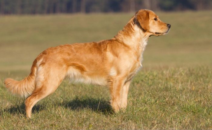 golden retriever observando una presa