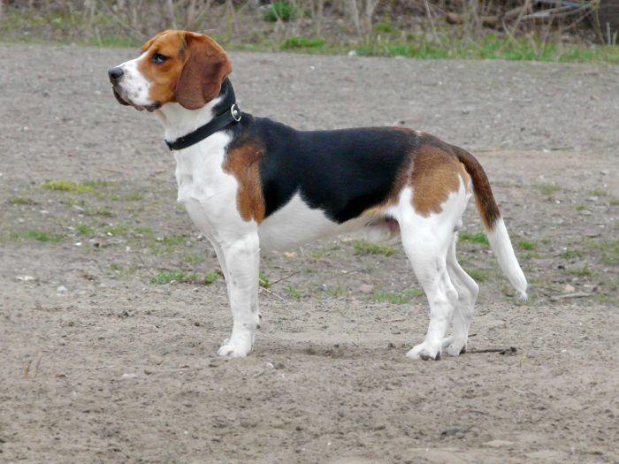 imagen de un beagle sobre arena