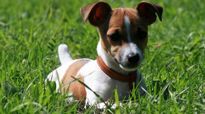 imagen de un jack russell terrier en el césped