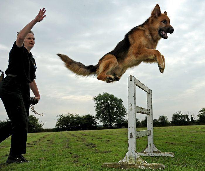 imagen del entrenamiento de un perro policía