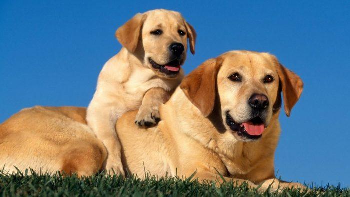 labrador retriever con su cachorro