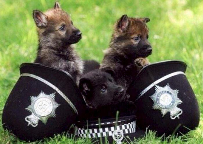 las mejores razas de perros policias