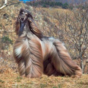 lebrel afgano disfrutando el viento