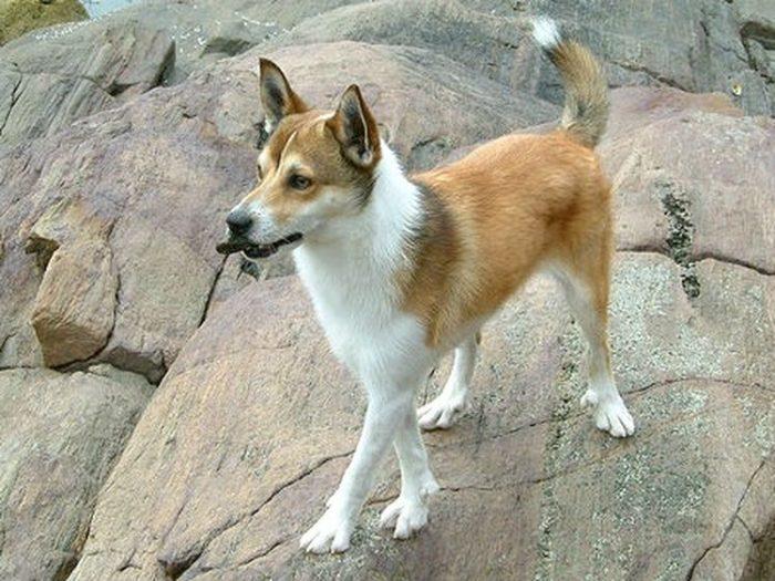 lundehund noruego