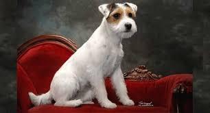 razas de perros pequeños parson russell terrier