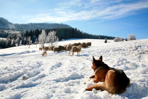 pastor alemán pastoreando