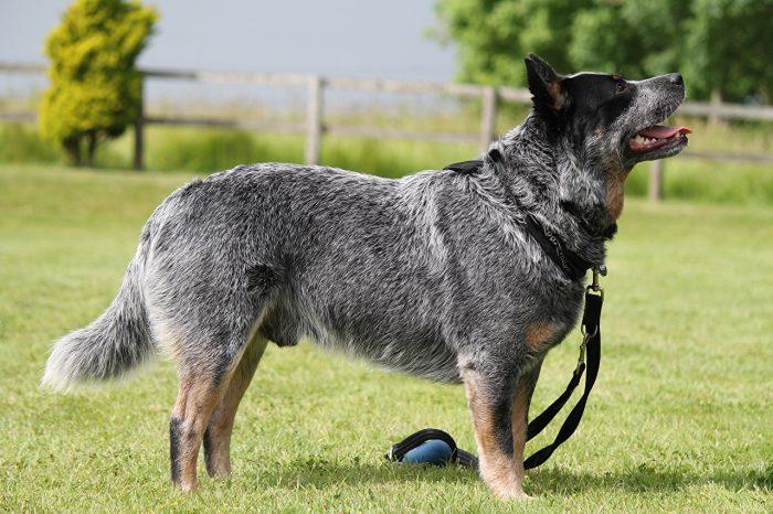 pastor ganadero australiano de paseo con su amo