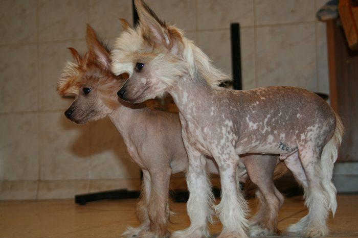 perro crestado chino