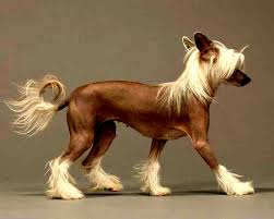 perro crestado chino razas de perros pequenos