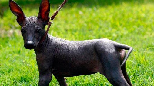 perro peruano sin pelo