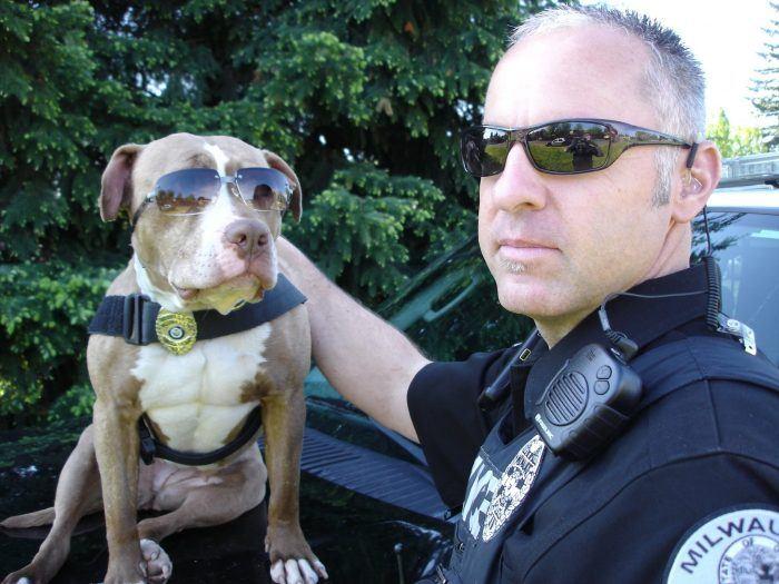 perro policía american pitbull terrier