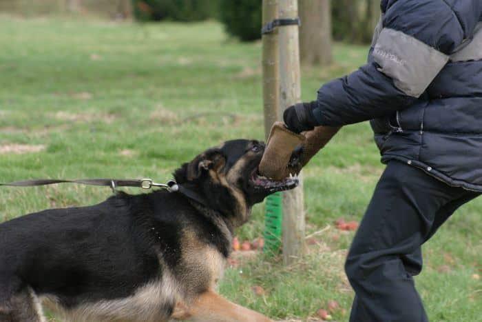 perro policia aprendiendo como morder