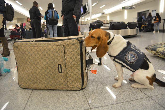 perro policía beagle