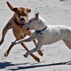 que tener en cuenta al tener un perro agresivo