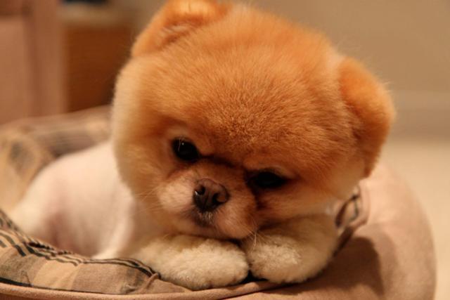 retrato de boo uno de los perros peludos mas populares de los ultimos anos