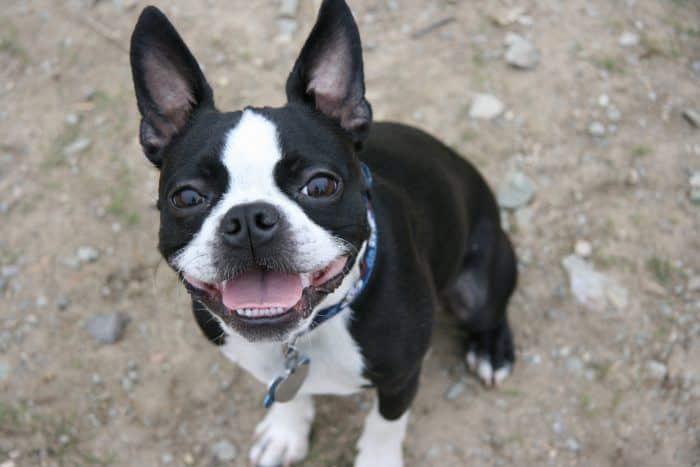 retrato de un boston terrier mirando hacia cámara