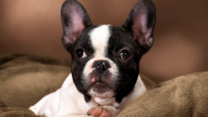 retrato de un bulldog francés