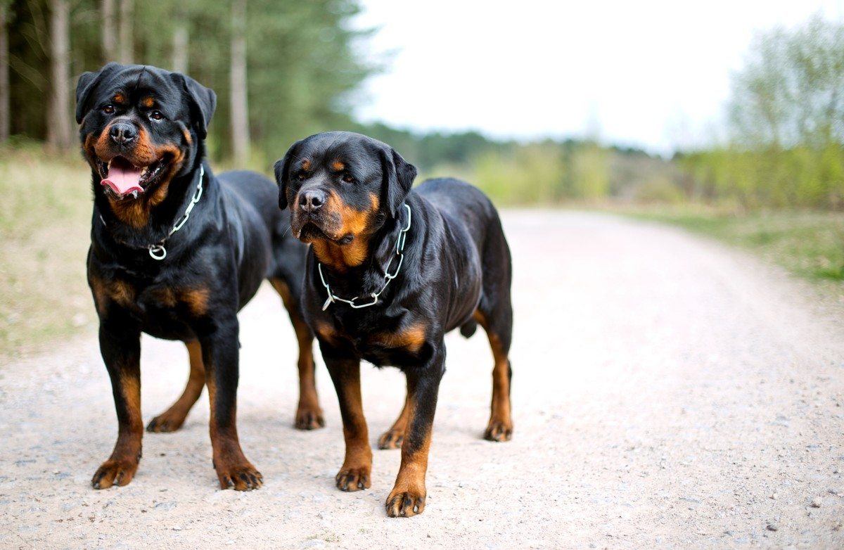 V1 Rottweiler dog sanctuary understands that some owners have to give up their beloved animal for a variety of reasons We are an alternative to a dog pound and