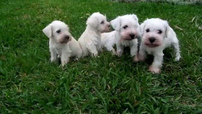 schnauzer miniatura blanco razas de perros pequeños blancos